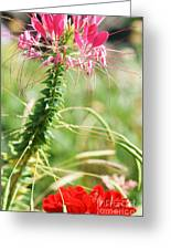 Cleome Hassleriana Greeting Card
