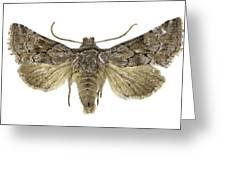 Cleonymia Yvanii Moth Greeting Card