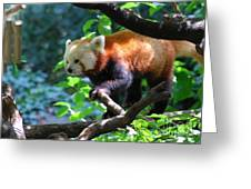 Climbing Red Panda Bear Greeting Card