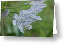 Close Up - African Lily Greeting Card