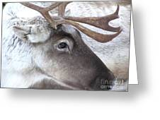 Close-up Caribou Reindeer Greeting Card