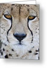 Close-up Of A Cheetah Acinonyx Jubatus Greeting Card