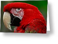Close Up Of A Gorgeous  Green Winged Macaw Parrot. Greeting Card
