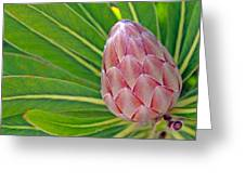 Close Up Of A Protea In Bud Greeting Card