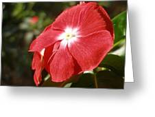 Close Up Of A Red Busy Lizzie Flower Greeting Card