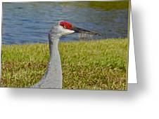 Close Up Of A Sandhill Crane Greeting Card