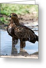 Close-up Of A Tawny Eagle Aquila Rapax Greeting Card
