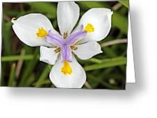 Close Up Of An Iris Greeting Card