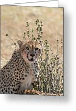 Close-up Of Leopard, Panthera Pardus Greeting Card