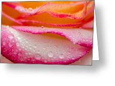 Close Up Of Pink Rose Petails Covered Dew Greeting Card