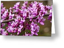 Close-up Of Redbud Tree Blossoms Greeting Card