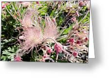 Close-up Of The Prairie Smoke Wildflower Greeting Card
