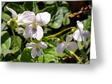 Close-up Of White Violets  Greeting Card