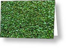 Close-up Privet Hedge Greeting Card