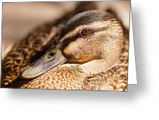 Close Up Shot Of Female Mallard Duck Greeting Card