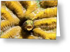 Close-up Spinyhead Blenny Greeting Card