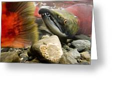 Close Up Underwater View Of Sockeye Red Greeting Card