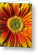 Close Up Yellow Orange Mum Greeting Card