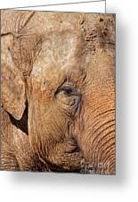 Closeup Of An Elephant Greeting Card