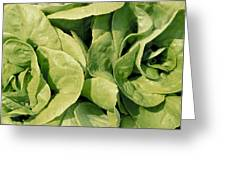 Closeup Of Boston Lettuce Greeting Card