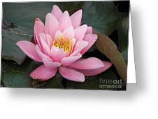 Closeup Of Pink Waterlily In A Pond Greeting Card