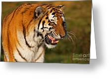 Closeup Portrait Of A Siberian Tiger  Greeting Card