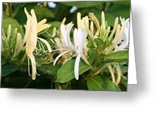 Closeup Shot Of Lonicera European Honeysuckle Flower Greeting Card