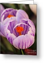 Closeup Striped Purple Crocus Vernus Greeting Card