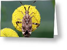 Clouded Plant Bug On Tansy Greeting Card