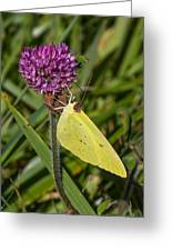 Clouded Sulphur On Clover Greeting Card