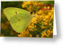 Cloudless Sulphur Greeting Card