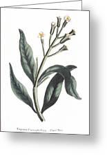 Clove Eugenia Aromatica Greeting Card