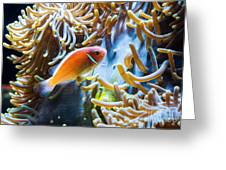 Clown Fish - Anemonefish Swimming Along A Large Anemone Amphiprion Greeting Card