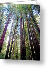 Coastal Redwoods Reach For The Sky In Armstrong Redwoods State Preserve Near Guerneville-ca Greeting Card