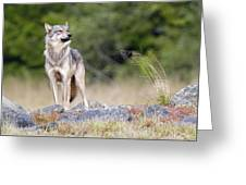 Coastal Wolf Greeting Card