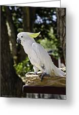 Cockatoo White Parrot Greeting Card