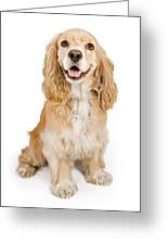 Cocker Spaniel Dog Isolated On White Greeting Card