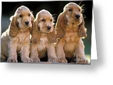 Cocker Spaniel Puppies Greeting Card