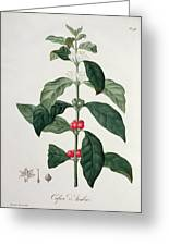 Coffea Arabica From Phytographie Greeting Card