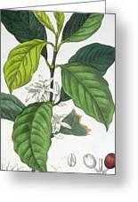 Coffea Arabica Greeting Card