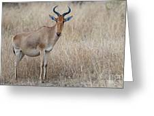 Cokes Hartebeest Greeting Card