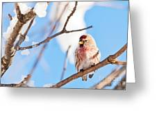 Cold Redpoll Greeting Card