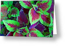 Coleus Color Greeting Card