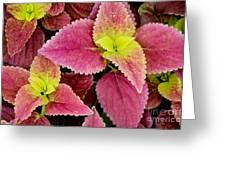 Coleus Colorfulius Greeting Card