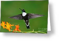 Collared Inca Greeting Card