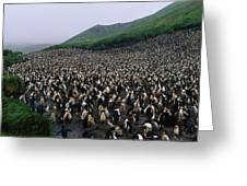 Colony Of Royal Penguin Eudyptes Greeting Card