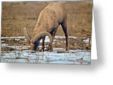 Colorado Desert Bighorn Greeting Card