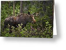 Colorado Moose Greeting Card