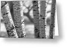 Colorado White Birch Trees In Black And White Greeting Card