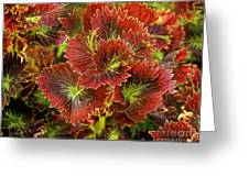 Colorful Coleus Greeting Card